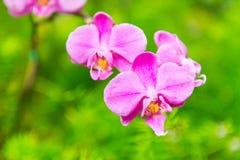 Orquídea rosada Fotografía de archivo