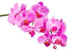 Orquídea rosada Foto de archivo libre de regalías