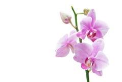 Orquídea rosada Imágenes de archivo libres de regalías