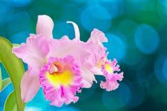 Orquídea rosada Fotografía de archivo libre de regalías