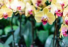 Orquídea rosada amarilla Imágenes de archivo libres de regalías