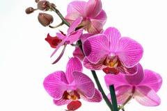 Orquídea rosada contra el fondo blanco Fotos de archivo