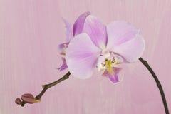 Orquídea rosada contra fondo pintado rosado Imagen de archivo