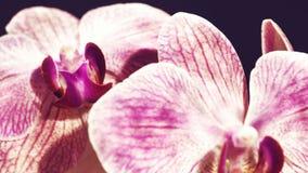 Orquídea rosada de la belleza Imagenes de archivo