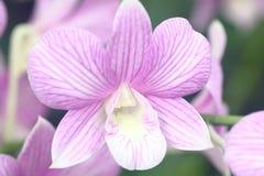 Orquídea rosada de las rayas del Dendrobium Imagen de archivo