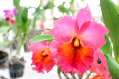 Orquídea rosada del cattleya Fotografía de archivo