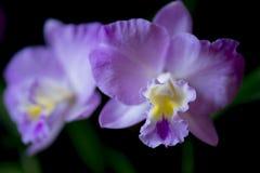 Orquídea rosada del cattleya Imagenes de archivo