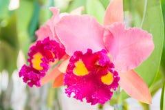 Orquídea rosada del cattleya fotos de archivo