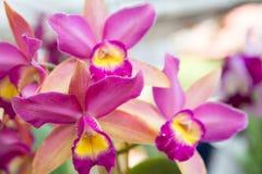 Orquídea rosada del cattleya imagen de archivo