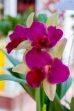 Orquídea rosada del cattleya foto de archivo libre de regalías
