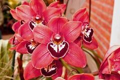 Orquídea rosada del cymbidium Fotos de archivo libres de regalías