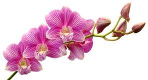 Orquídea rosada del Dendrobium Fotos de archivo libres de regalías