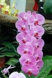 Orquídea rosada del Phalaenopsis Imagen de archivo libre de regalías