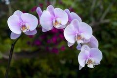 Orquídea rosada del phalaenopsis Fotografía de archivo libre de regalías