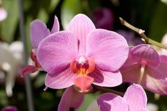 Orquídea rosada del verano Imagenes de archivo