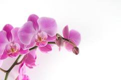 Orquídea rosada en el fondo blanco Foto de archivo