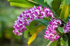 Orquídea rosada en granja Imágenes de archivo libres de regalías