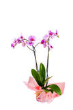 Orquídea rosada en pote en el fondo blanco Foto de archivo