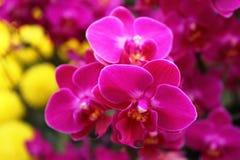 Orquídea rosada en Tailandia Fotografía de archivo libre de regalías