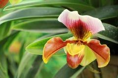 Orquídea rosada en Tailandia Imagen de archivo libre de regalías