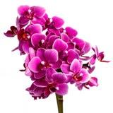Orquídea rosada floreciente con muchas flores en un fondo blanco Foto de archivo