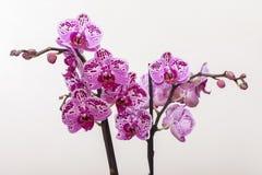 Orquídea rosada floreciente en un fondo ligero Imagen de archivo