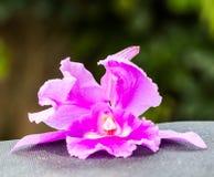 Orquídea rosada hermosa Imagen de archivo