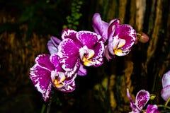Orquídea rosada hermosa - detalle de una flor de la planta de la casa foto de archivo