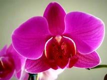 Orquídea rosada potente Fotos de archivo libres de regalías