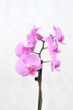 Orquídea rosada, tiempo del balneario fotos de archivo
