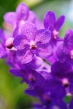 Orquídea roxa Fotos de Stock