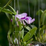 Orquídea roxa Imagem de Stock