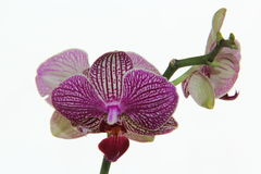 Orquídea roxa imagens de stock