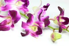 Orquídea roxa Imagem de Stock Royalty Free