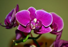 Orquídea roxa Imagens de Stock Royalty Free