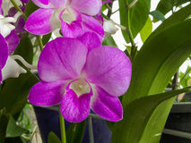 Orquídea roxa Fotografia de Stock Royalty Free