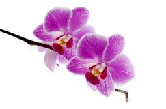 Orquídea roxa Foto de Stock Royalty Free