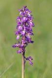 Orquídea roxa adiantada - mascula de Orchis Imagens de Stock Royalty Free