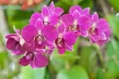 Orquídea roxa bonita Fotografia de Stock Royalty Free