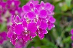 Orquídea roxa bonita Foto de Stock Royalty Free