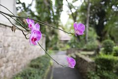 Orquídea roxa bonita Anggrek Bulan fotos de stock royalty free