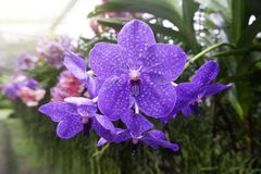 Orquídea roxa bonita no jardim fotografia de stock