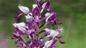 Orquídea roxa bonita selvagem (militaris de Orchis) video estoque
