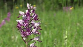 Orquídea roxa bonita selvagem (militaris de Orchis) filme