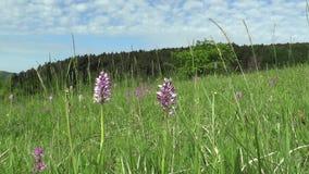 Orquídea roxa bonita selvagem (militaris) de Orchis, prado filme