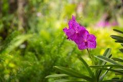 A orquídea roxa com o orvalho da manhã Foto de Stock Royalty Free