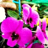 Orquídea roxa da orquídea roxa roxa da orquídea foto de stock royalty free