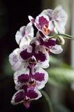 Orquídea roxa e branca Fotografia de Stock
