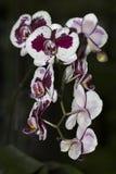Orquídea roxa e branca Imagem de Stock Royalty Free