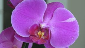Orquídea roxa Fundo cinzento Feche acima da vista macro imagem de stock
